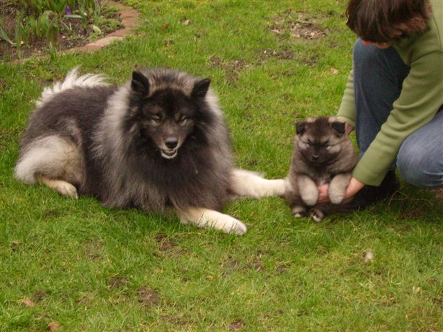 Keeshond and puppy