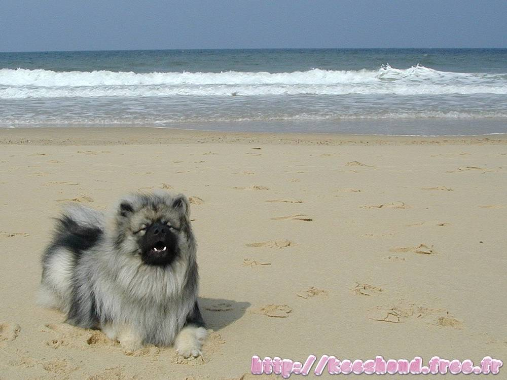 Keeshond laying on beach