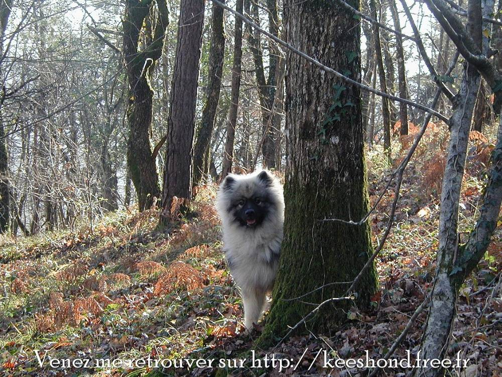 Keeshond hiding behind tree