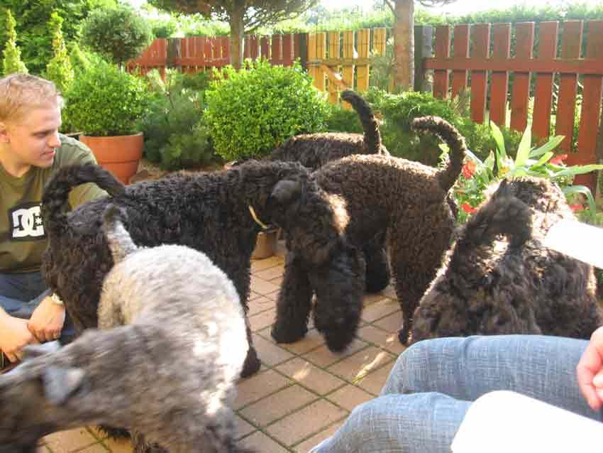 Kerry Blue Terrier gang