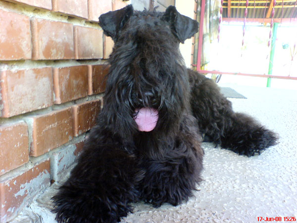 Kerry Blue Terrier with tongue out