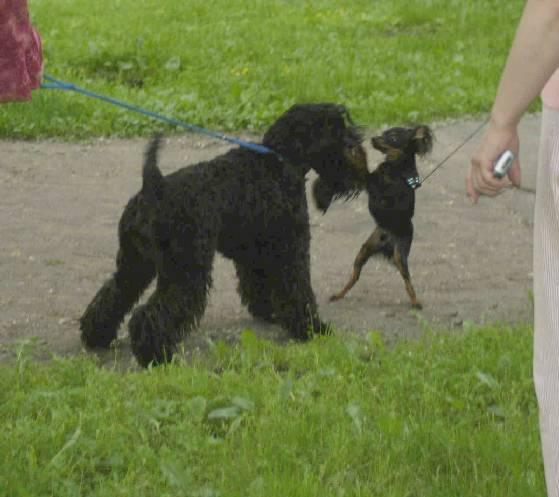 Kerry Blue Terrier meeting a friend