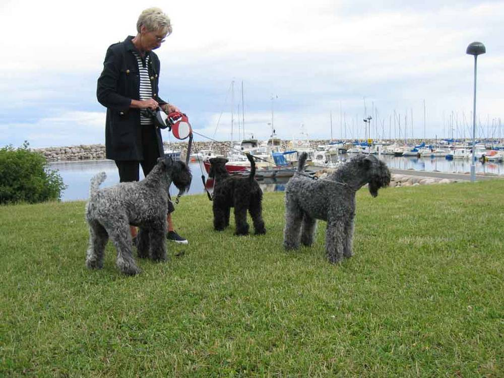 Kerry Blue Terrier's playing in grass