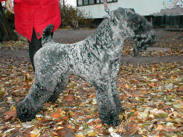 Kerry Blue Terrier standing in leaves
