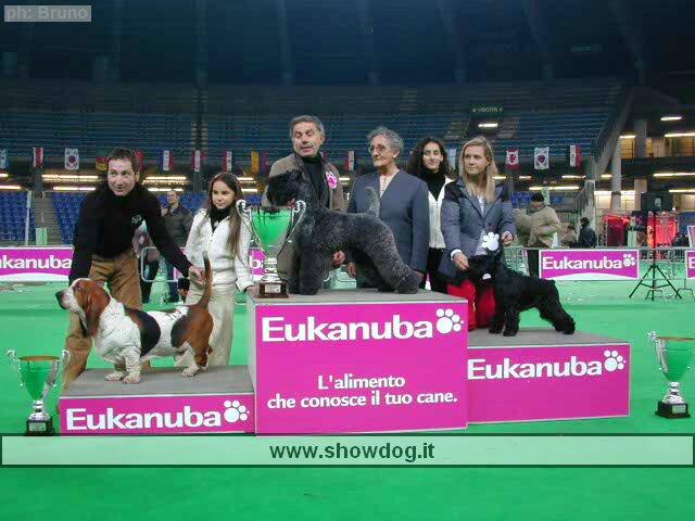 Kerry Blue Terrier winning a show