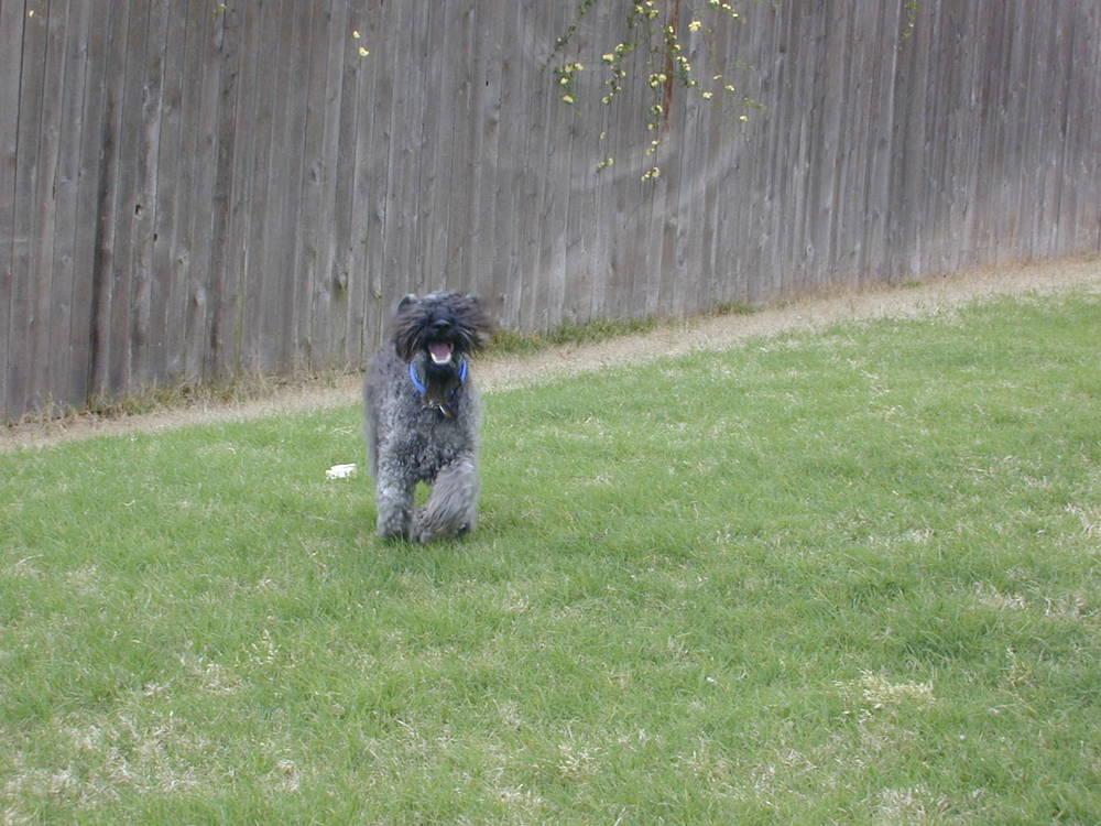 Kerry Blue Terrier running in grass