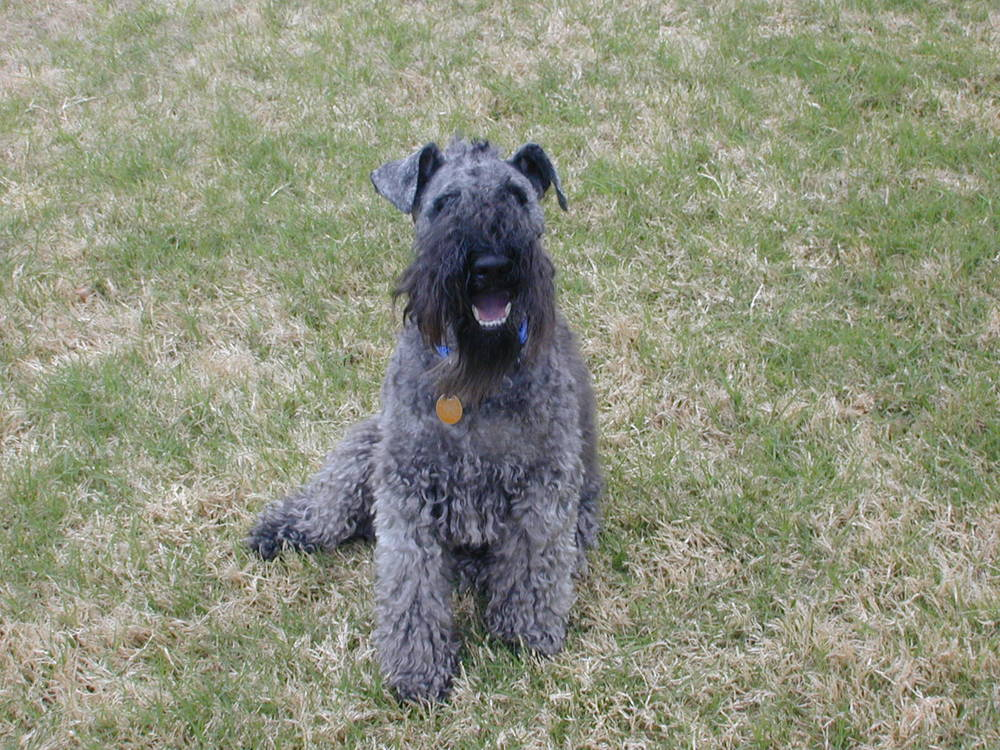 Kerry Blue Terrier sitting in grass