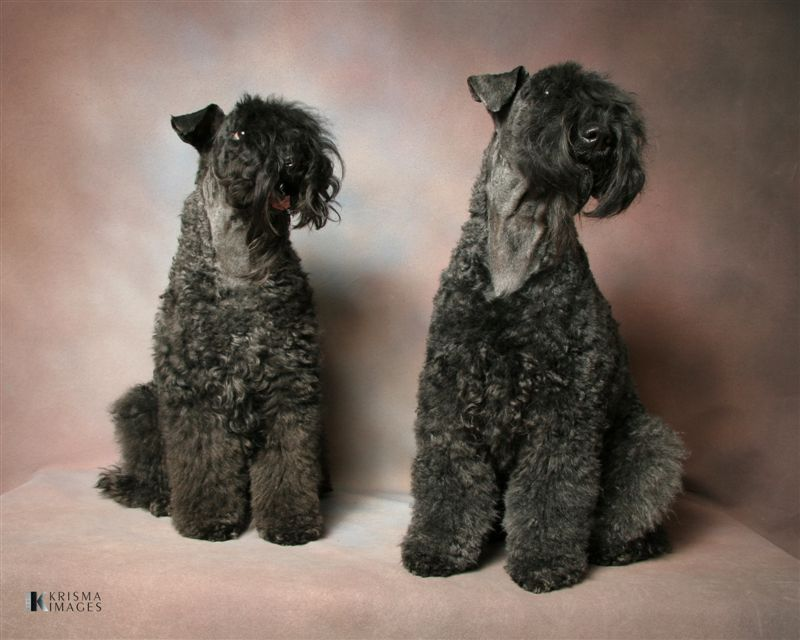 Two Kerry Blue Terrier's posing