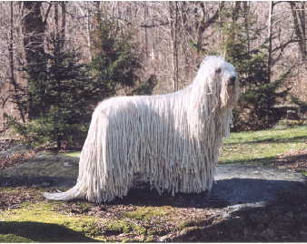 Komondor in the woods