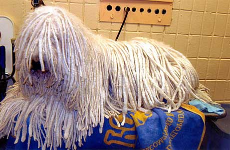Komondor relaxing