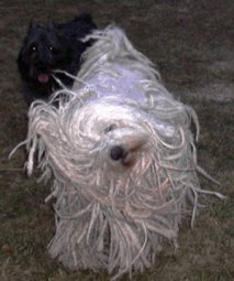 Komondor shaking himself off
