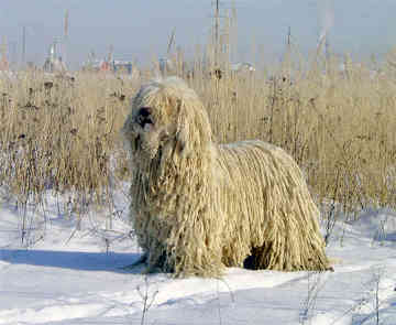 Komondor in the snow