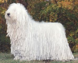 Very Prestigious Looking Komondor