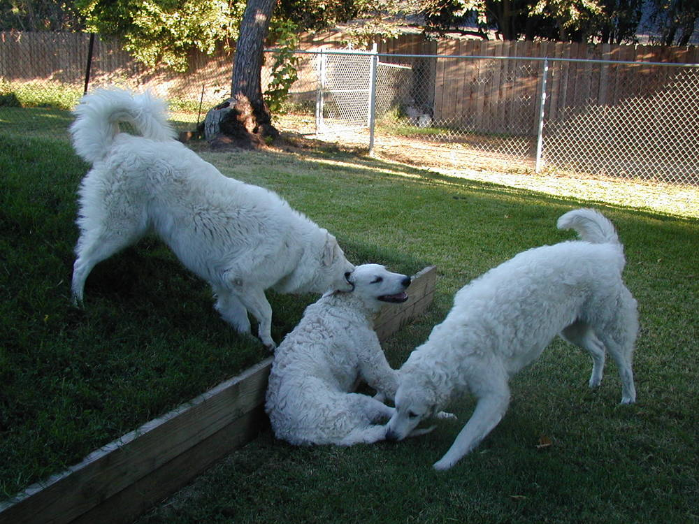 Three Kuvasz Playing