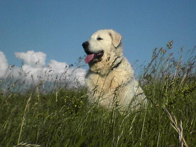 Kuvasz happy in a field