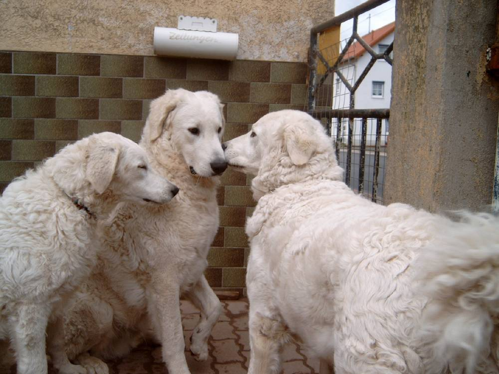Three Kuvasz meeting