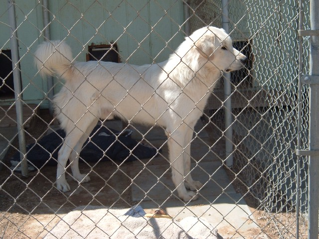 Kuvasz behind bars
