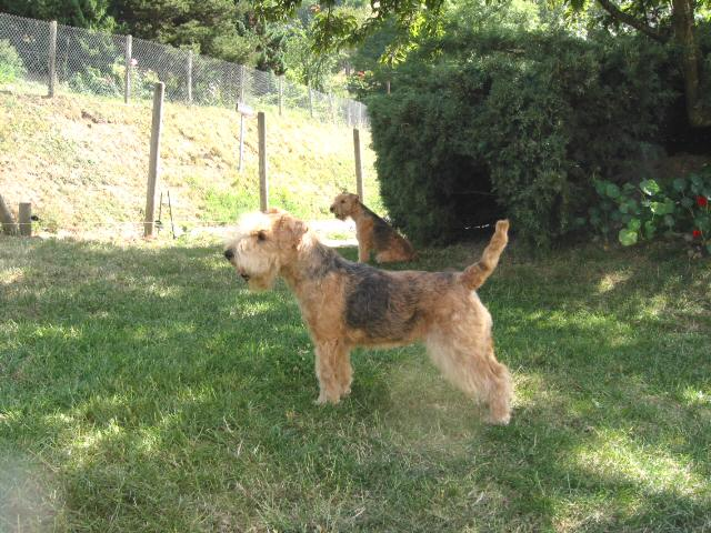 Lakeland Terrier standing in grass