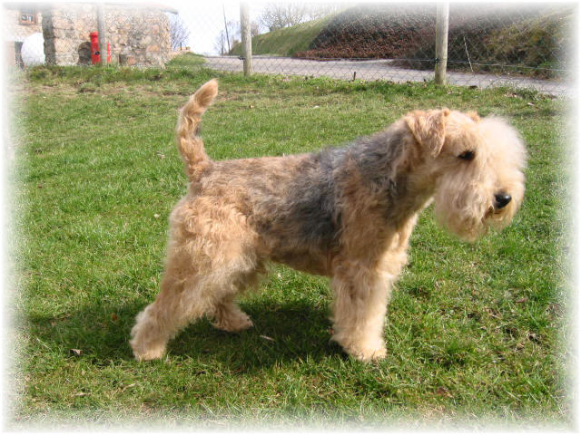 Lakeland Terrier with bushy face