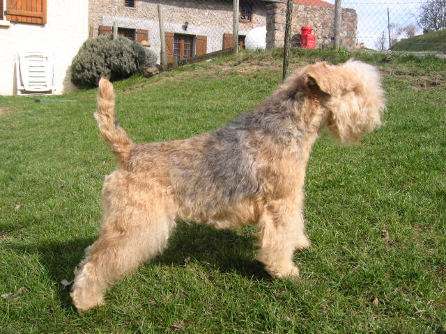 Lakeland Terrier posing