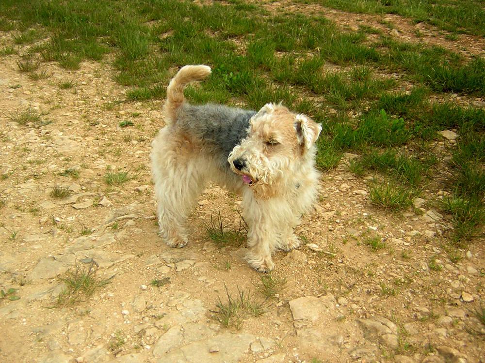 Lakeland Terrier looking back