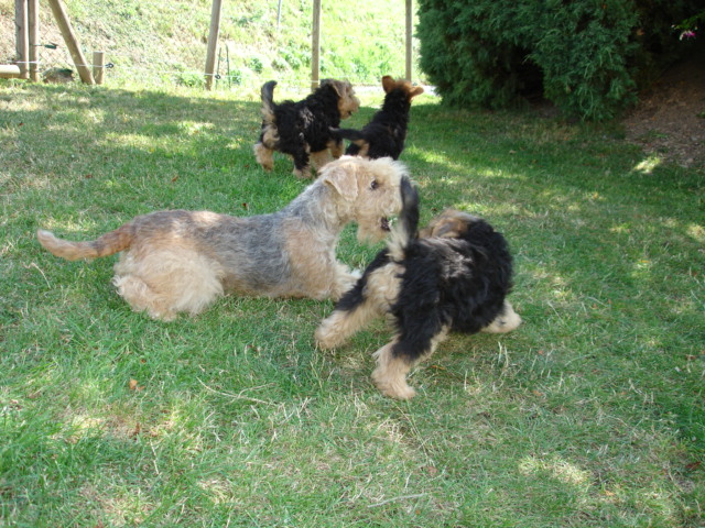 Lakeland Terrier's playing