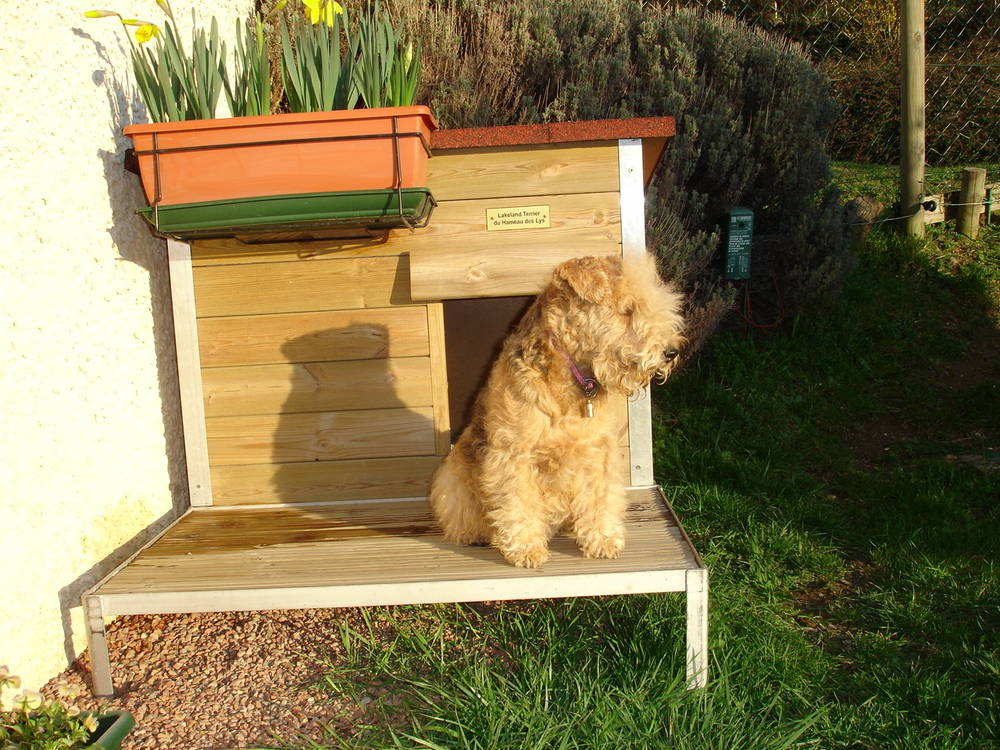 Lakeland Terrier sitting on bench