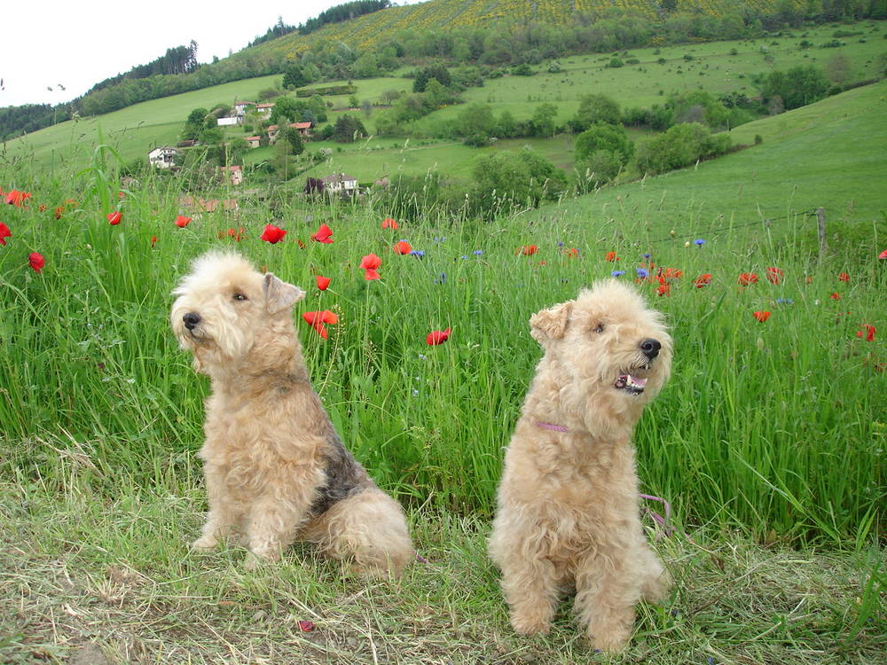 Lakeland Terrier's posing in field