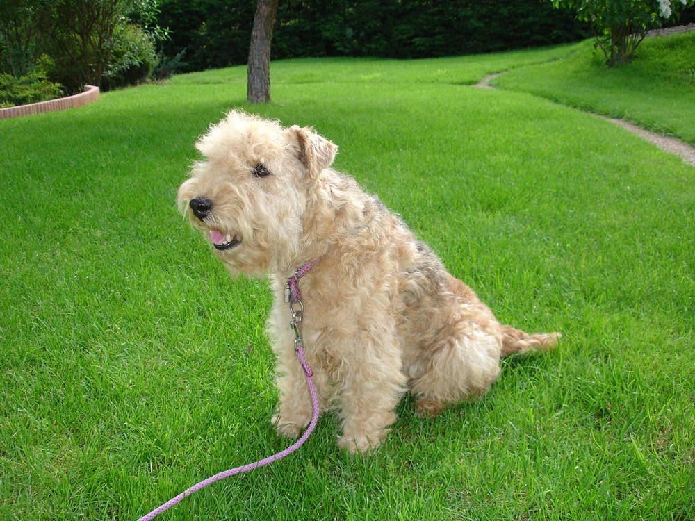 Lakeland Terrier with mouth open