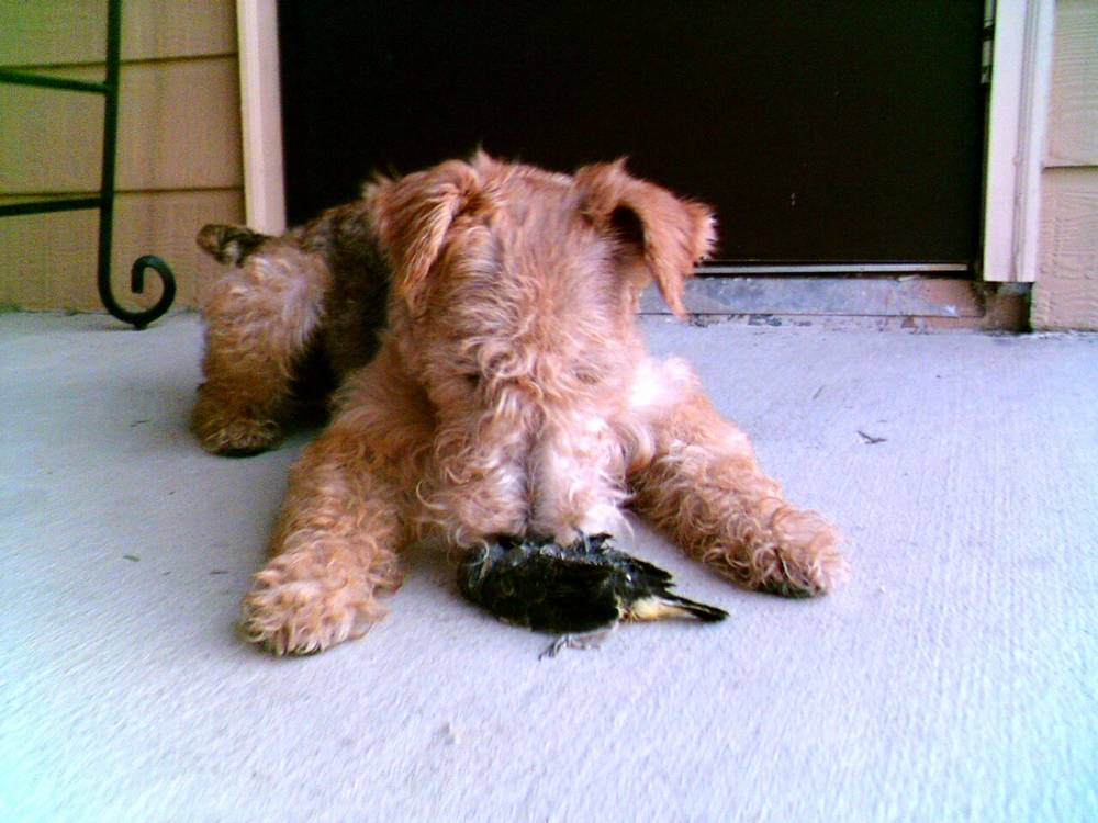 Lakeland Terrier caught a bird