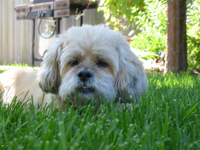 Lhasa Apso laying in grass