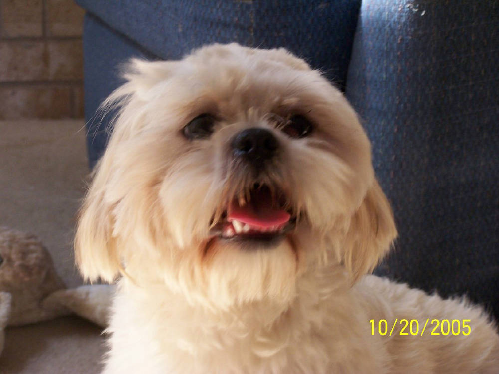 Lhasa Apso smiling at camera