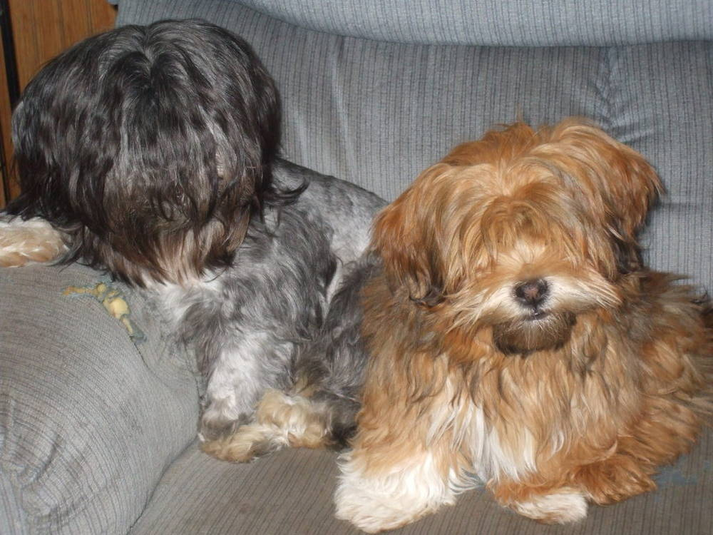 Two Lhasa Apso's with bangs