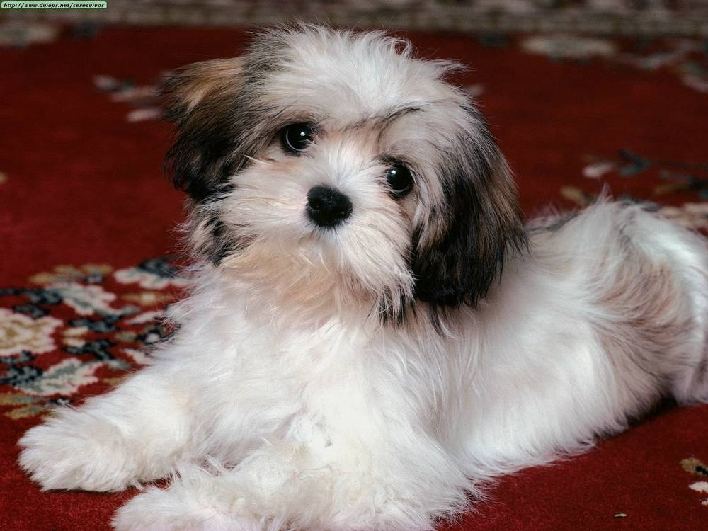 Lhasa Apso looking concerned