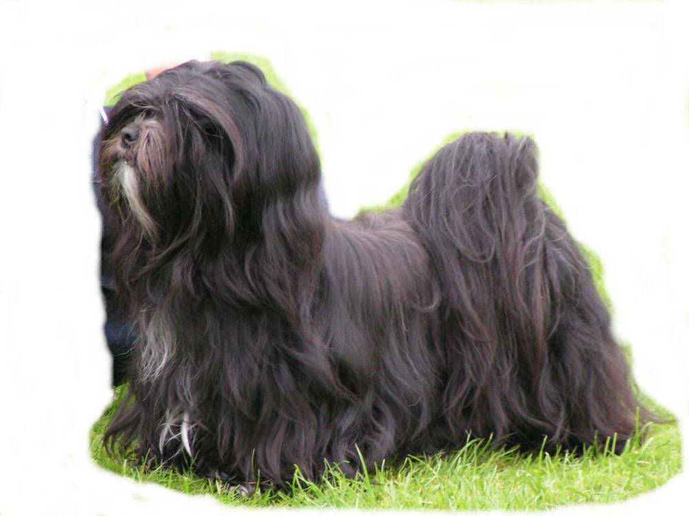Black Lhasa Apso standing on grass