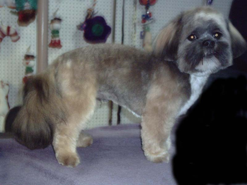 Lhasa Apso after haircut