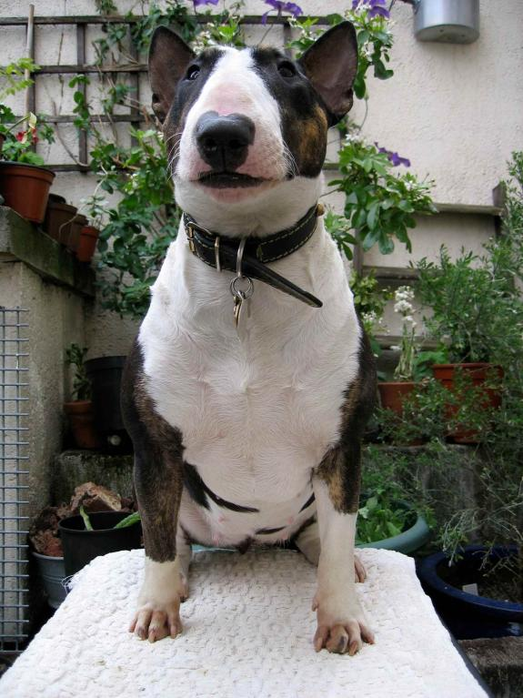Miniature Bull Terrier posing on table