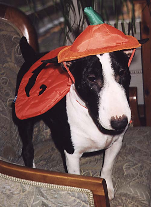 Miniature Bull Terrier in pumpkin outfit