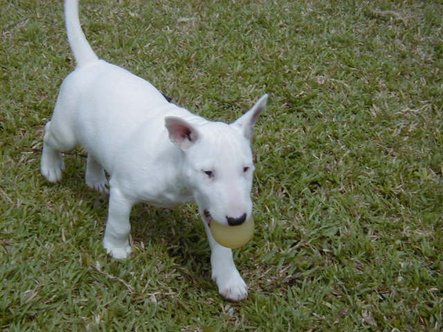 Miniature Bull Terrier with ball