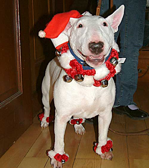 Miniature Bull Terrier dressed for xmas