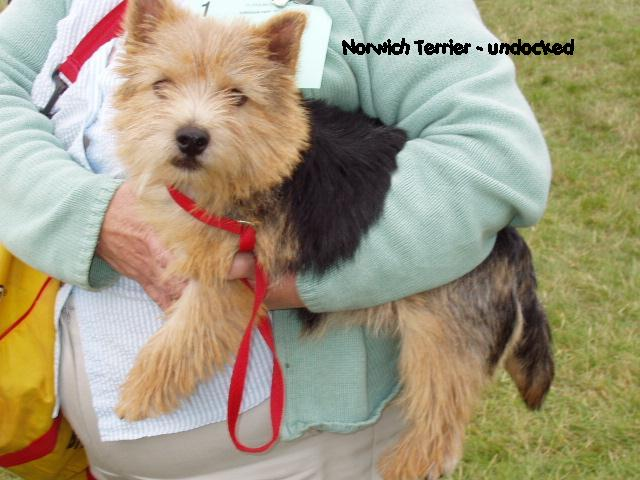 Norwich Terrier being held
