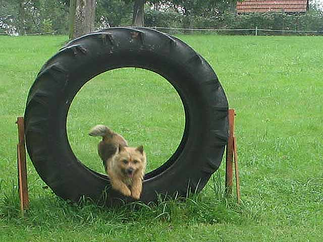 Norwich Terrier jumping through tire