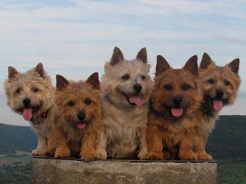 Norwich Terrier's all smiling