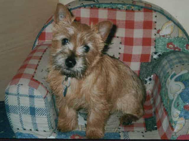 Norwich Terrier sitting in chair