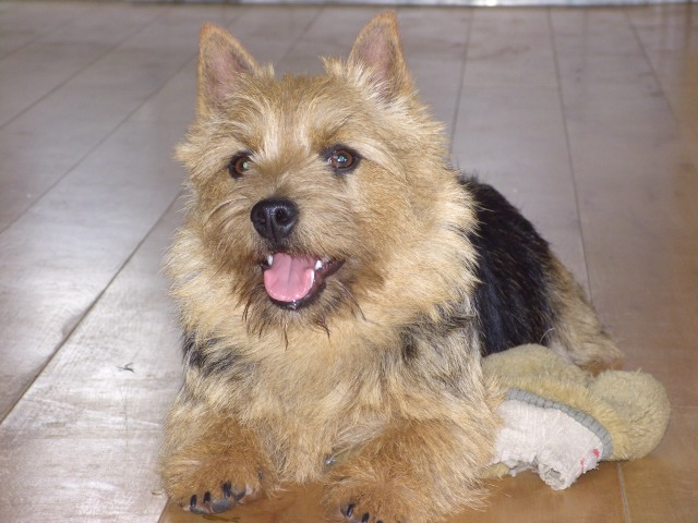 Norwich Terrier with tongue out