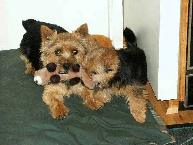 Norwich Terrier's playing with toy