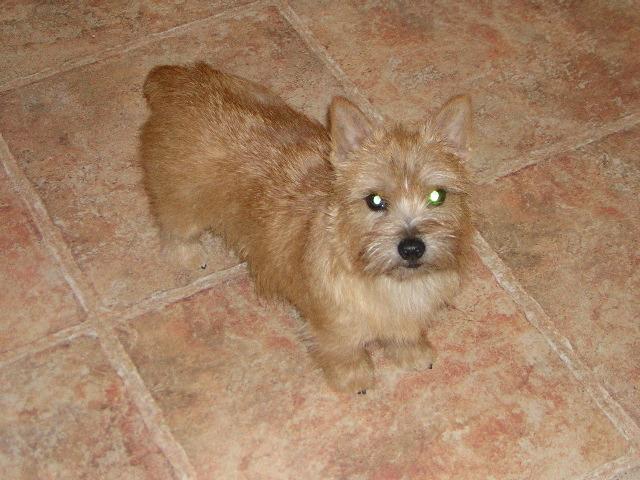 Norwich Terrier staring