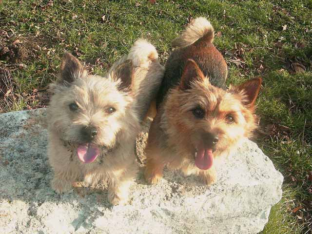 Norwich Terrier's smiling on glass