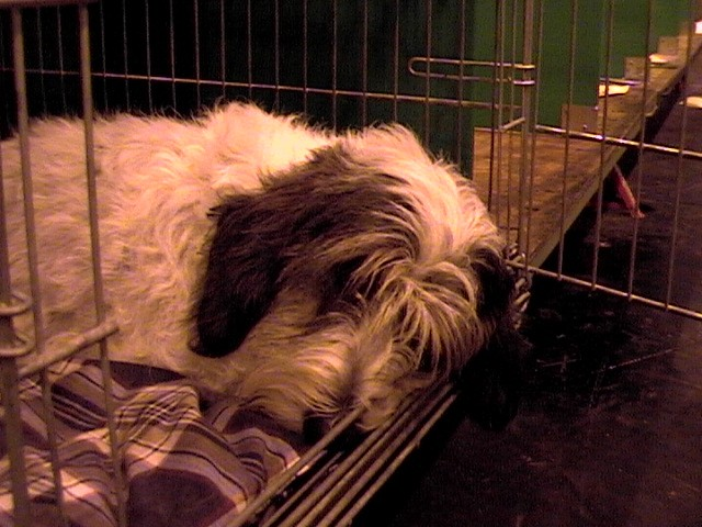 Petit Basset Griffon Vendeen sleeping in kennel