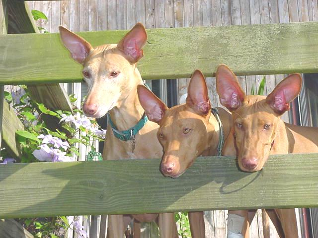 Pharaoh Hound's through fence